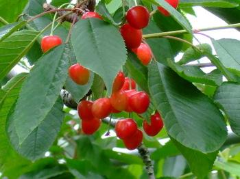 Sakurannbo